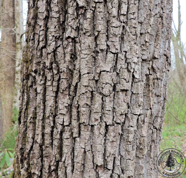 Black Walnut Bark - Townsend River Walk & Arboretum