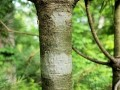 eastern white pine bark