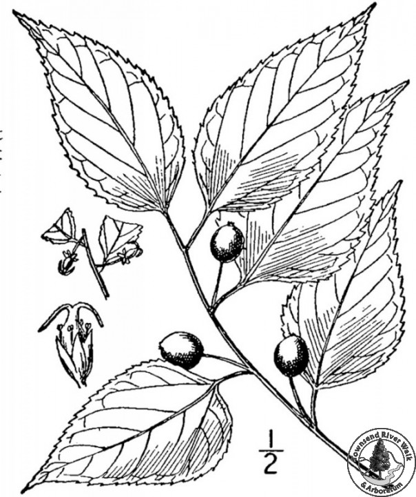 hackberry usda drawing