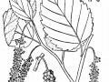 redmulberry usda drawing