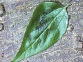 sugarberryleaf usda600