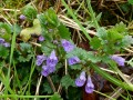 Glechoma hederacea - Creeping Charlie