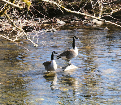 Geese on The Little River from the TRWA - February 2021