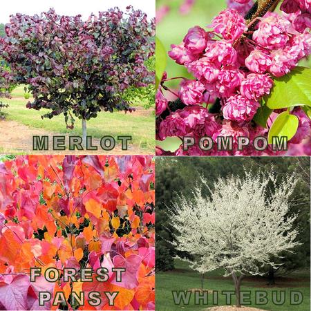 2021 National Garden Week Redbud Plantings