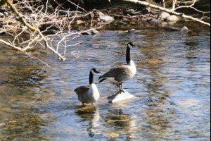 Duck, Duck, Geese!!!